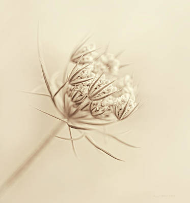 Queen Anne's Lace Flower Buds Sepia Poster