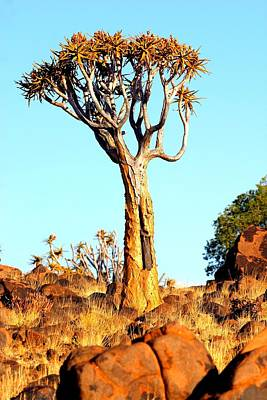 Poster featuring the photograph Quiver Tree by Riana Van Staden