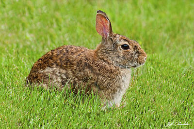Rabbit In A Grassy Meadow Poster