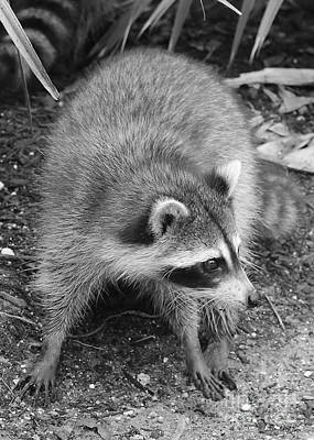 Raccoon - Black And White Poster
