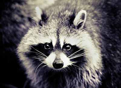 Raccoon Looking At Camera Poster