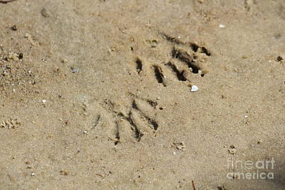 Raccoon Tracks In The Sand Poster