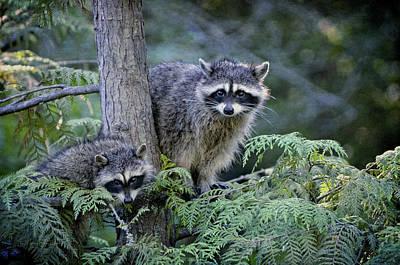 Raccoons In Stanley Park Poster