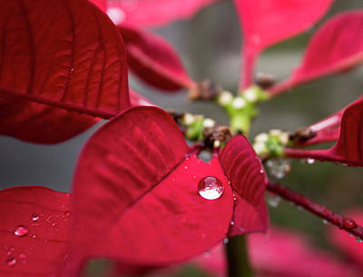 Rain Drop On A Poinsettia  Poster