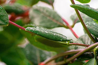 Rain Drops On A Leaf Poster