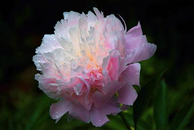 Poster featuring the photograph Rain-kissed Peony by Byron Varvarigos