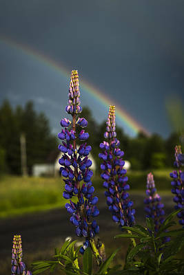 Rainbow Over Lupine  Poster