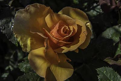 Raindrop Rose Poster