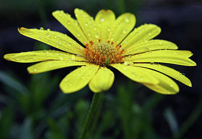 Poster featuring the photograph Raindrops On Daisy by Judy Vincent