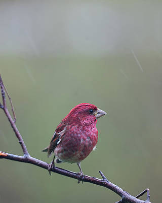 Poster featuring the photograph Rainy Day Finch by Susan Capuano