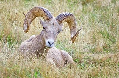 Ram In Field Poster