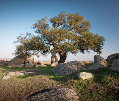 Ramona Grasslands Oak Tree Poster by William Dunigan