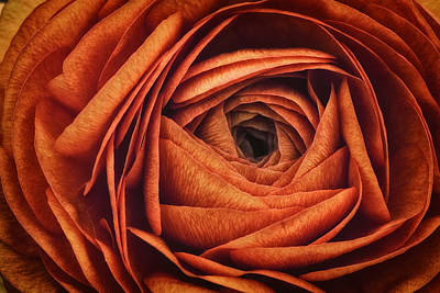 Ranonkel Oranje Poster by Rick Berk