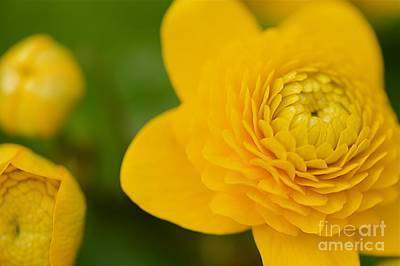 Ranunculaceae.  Yellow Flower. Poster