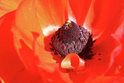 Ranunculus Red Poster by Denise Van Osten