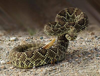 Mohave Green Rattlesnake Striking Position 2 Poster