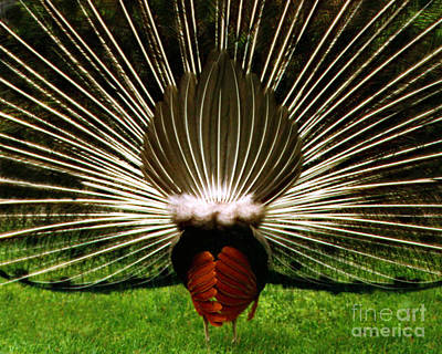 Rear End Of Peacock In Full Aray Poster by Merton Allen