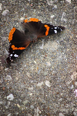 Red Admiral Butterfly On Stone Poster