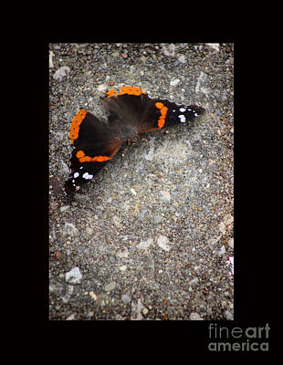 Red Admiral Butterfly With Black Border Poster