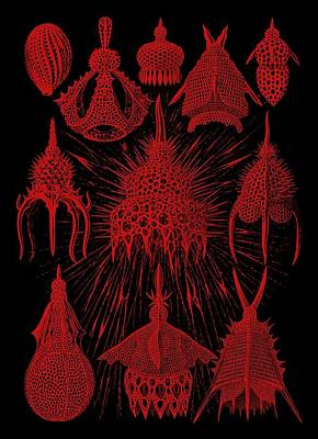 Red And Black Cyrtoidea Poster by Diane Addis