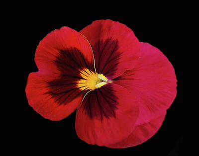 Red And Black Pansy Poster