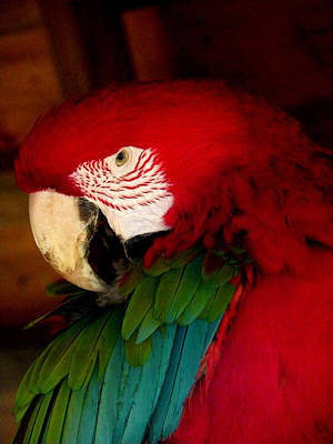 Red And Green Wing Macaw Poster