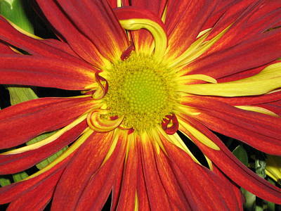 Red And Yellow Flower Poster by Barbara Yearty