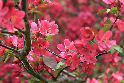 Red Apple Blossoms 4 Poster
