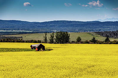 Red Barns In A Sea Of Canola Poster