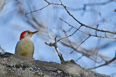 Poster featuring the photograph Red-bellied Woodpecker 1137 by Michael Peychich