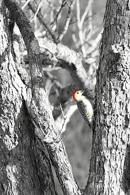 Poster featuring the photograph Red-bellied Woodpecker by Benanne Stiens