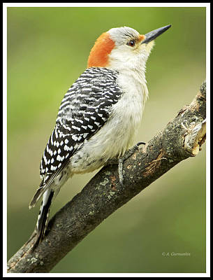 Red Bellied Woodpecker, Female On Tree Branch Poster