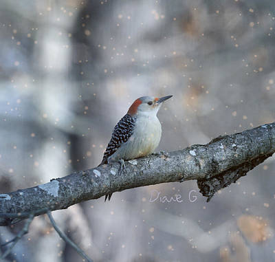 Red-bellied Woodpecker In Snow Poster by Diane Giurco