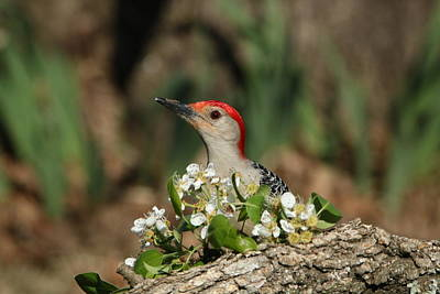 Red-bellied Woodpecker In Spring Poster