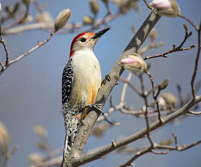 Poster featuring the photograph Red-bellied Woodpecker On Magnolia by Angel Cher