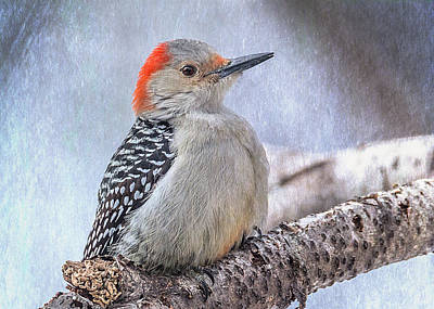 Red-bellied Woodpecker Poster by Patti Deters
