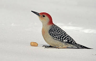 Red Belly Woodpecker In Snow Poster by Geraldine Scull