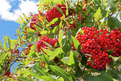 Red Berries, Blue Skies Poster