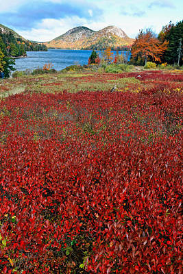 Red Berry Bushes At Jordan Pond Poster