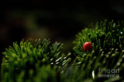 Red Berry In Evergreen Tree Poster