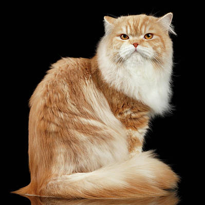 Red Big Adult Persian Cat Angry Sits And Turned Back On Black  Poster by Sergey Taran