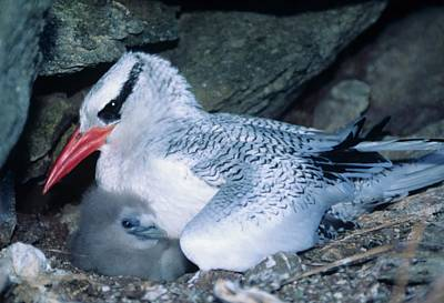 Red-billed Tropicbirds Cuddling  Poster