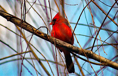 Red Bird Sitting Patiently Poster