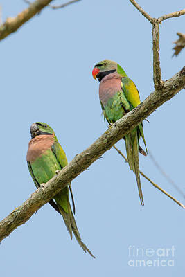 Red-breasted Parakeets, India Poster