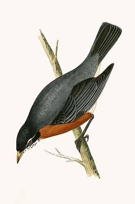 Red Breasted Thrush Poster