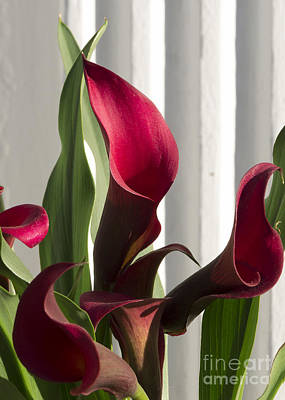 Red Cala Lilies Poster