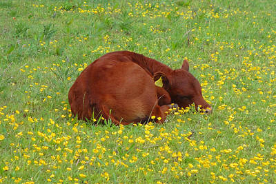 Red Calf In The Buttercup Meadow Poster