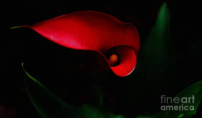 Red Calla Lilly Poster