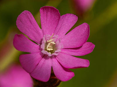 Red Campion Poster