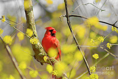 Poster featuring the photograph Red Cardinal Among Spring Flowers by Charline Xia